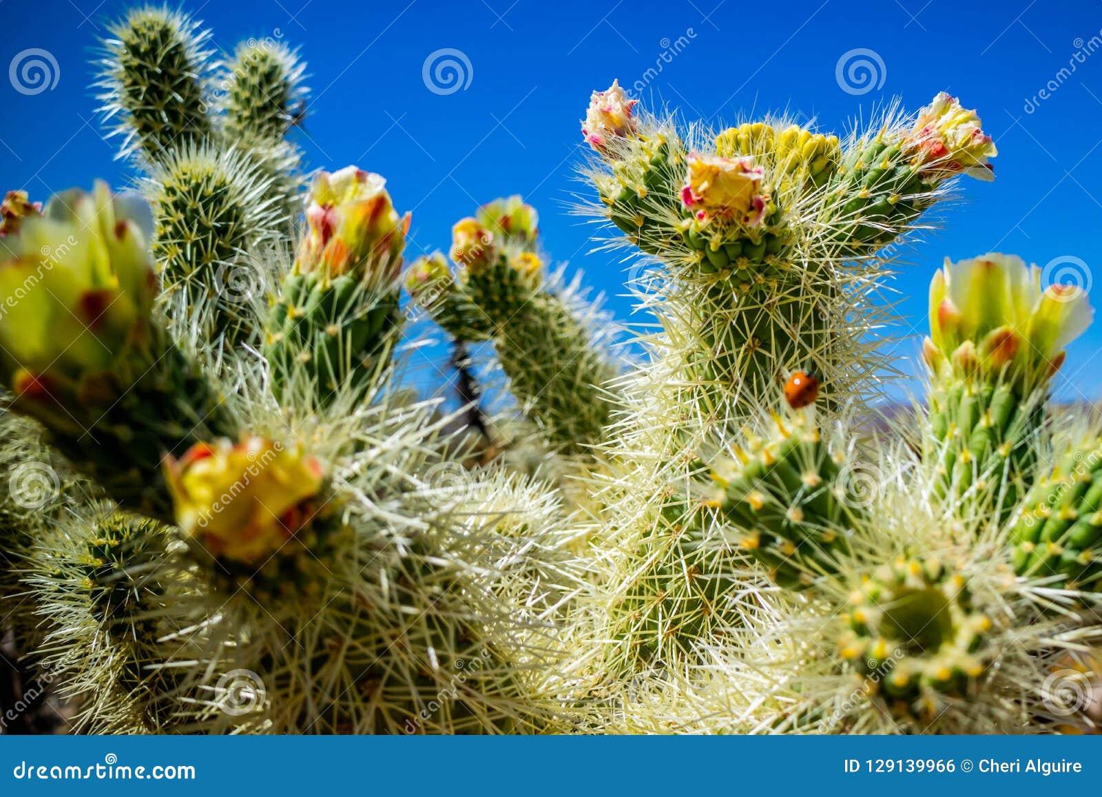 Chain Fruit Cholla Cactus in Joshua National Park, California