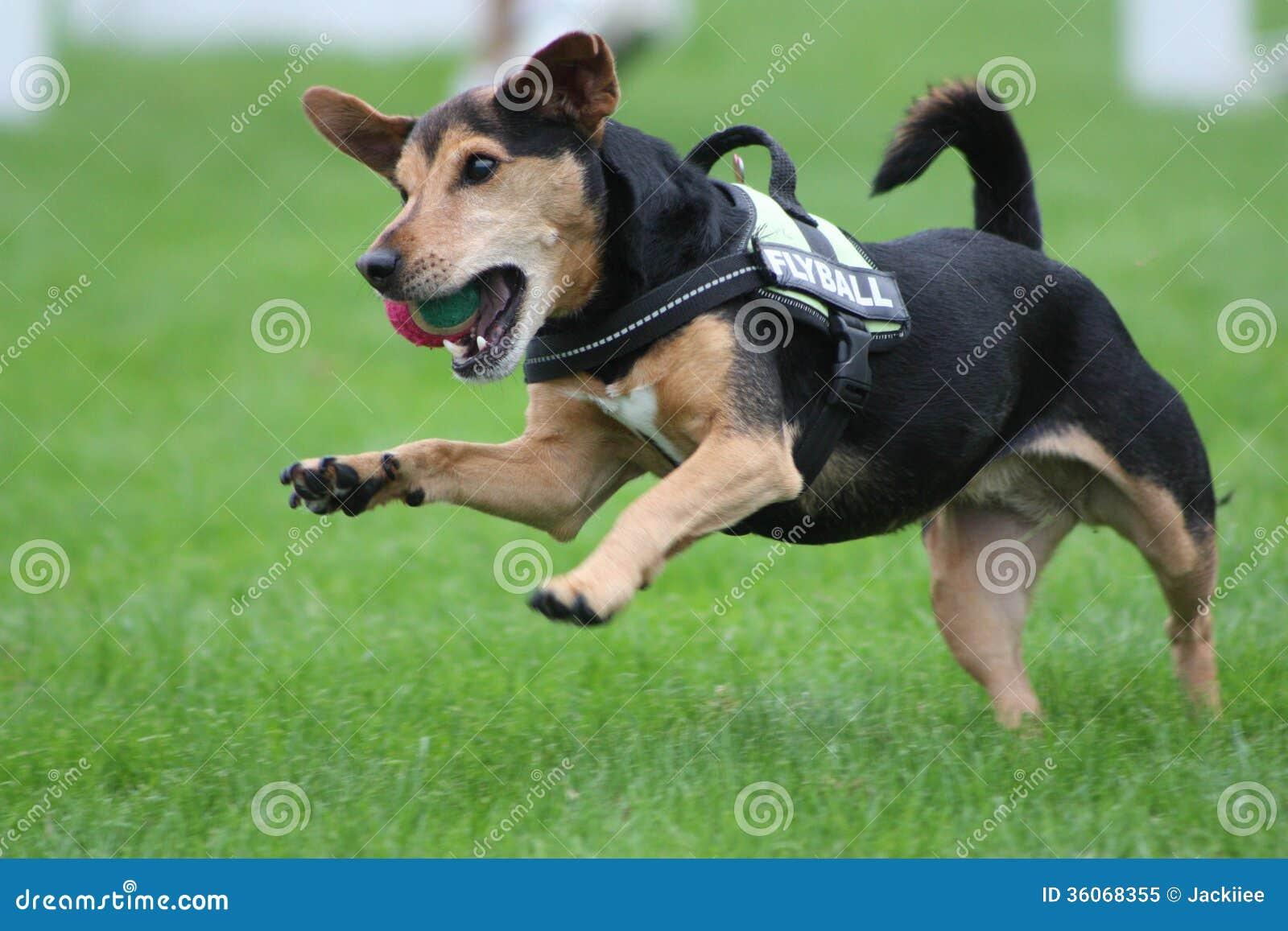 Jumping Dog Royalty Free Stock Photo - Image: 36068355