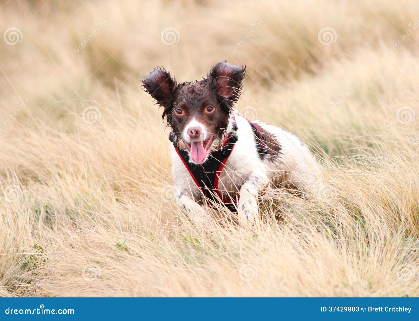 Dog Jumping Royalty-Fr...