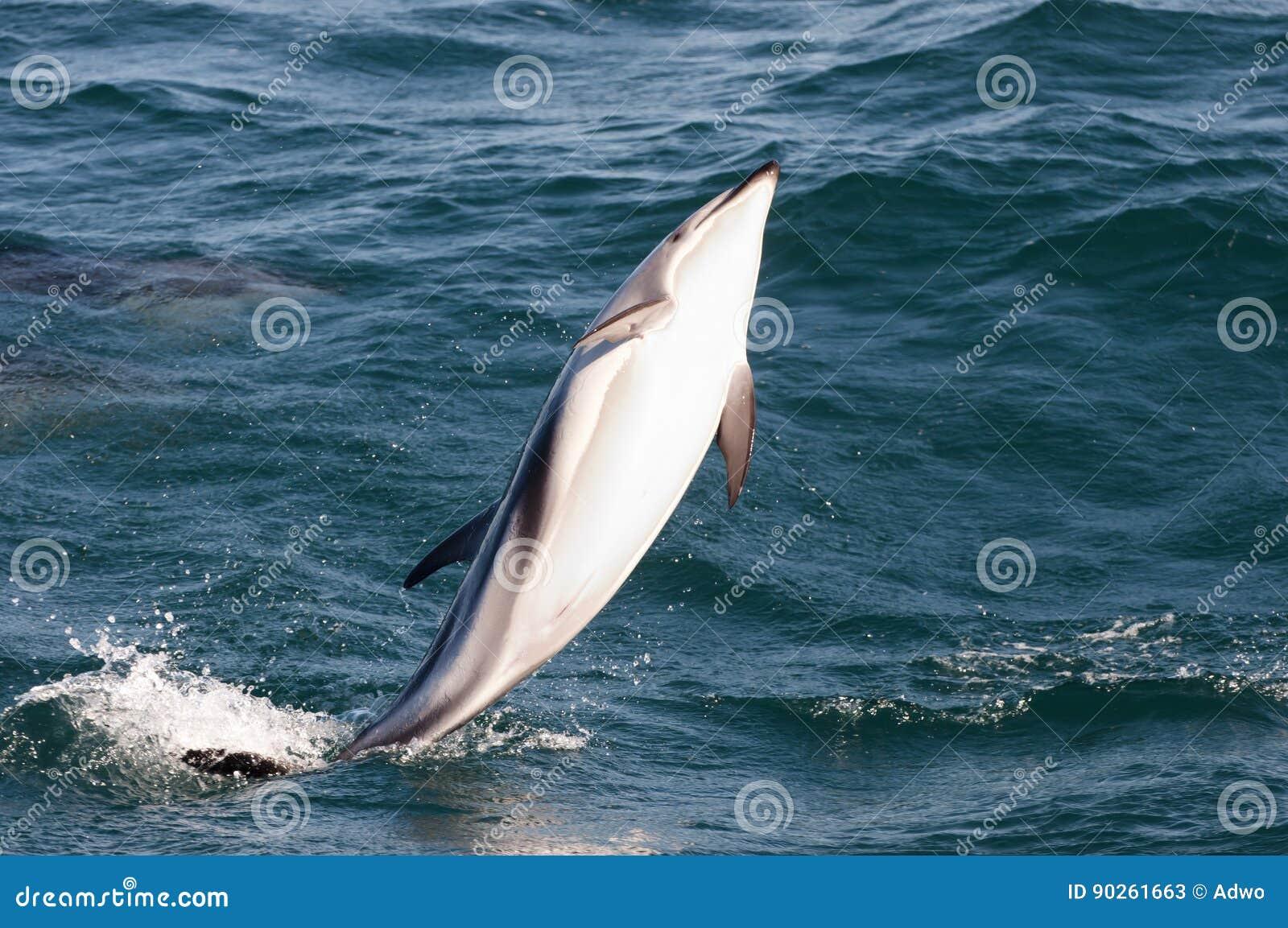 Jumping Dolphin - Kaikoura - New Zealand