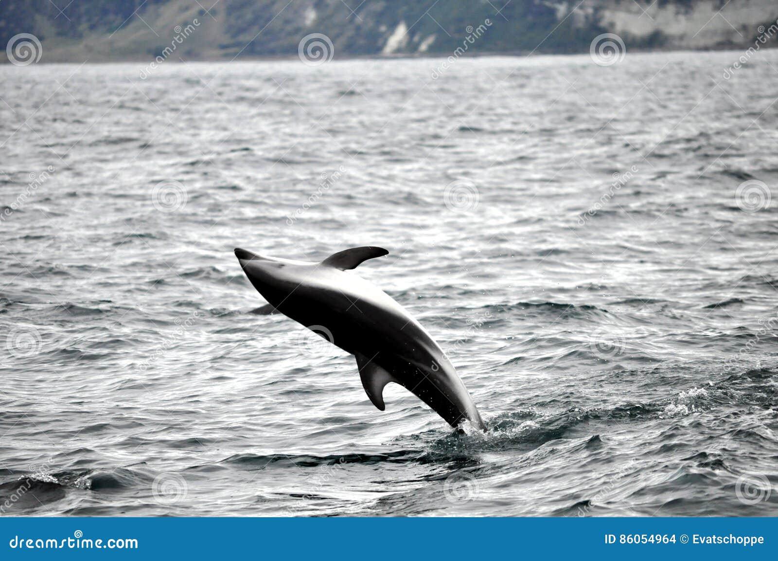 Jumping Dolphin in Kaikoura, New Zealand