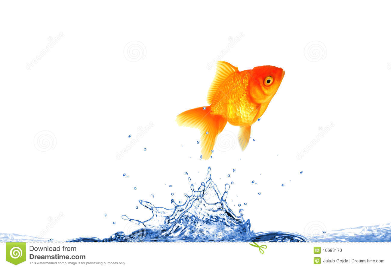 Jumping golden fish with water splash, isolated on white background.