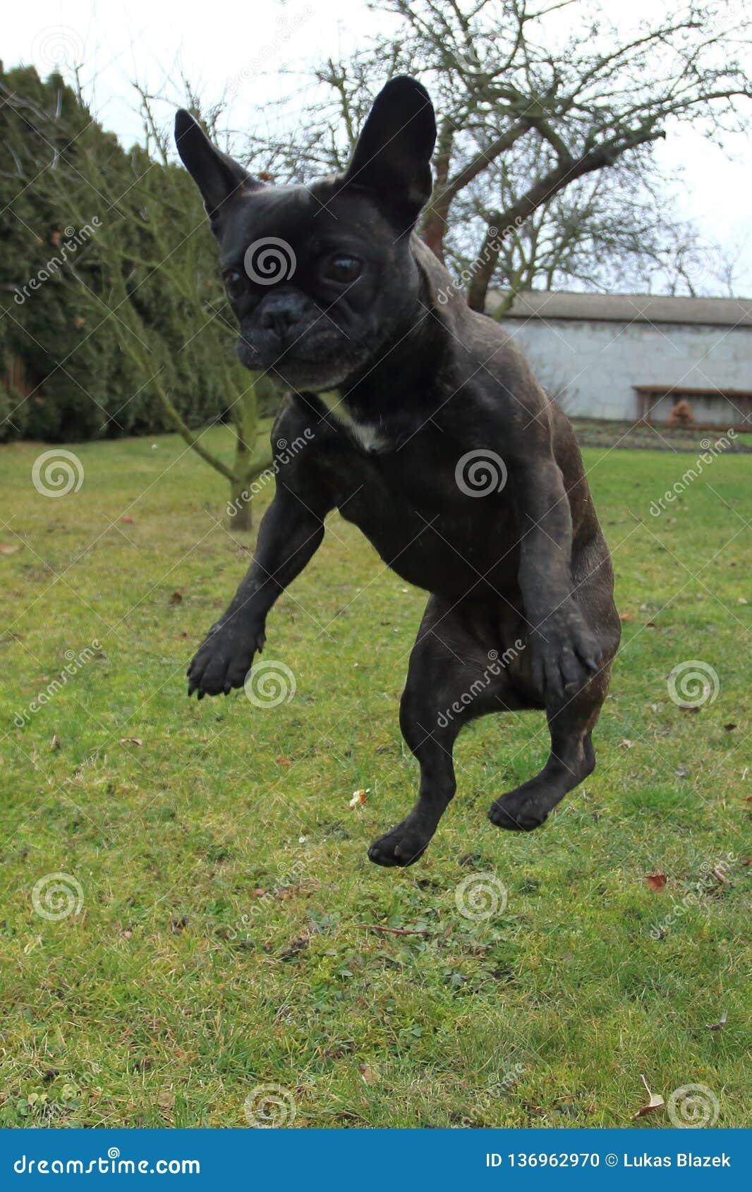Jumping french bulldog