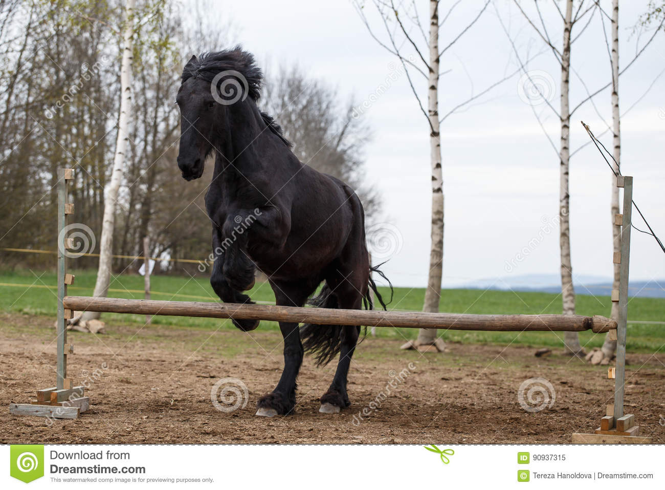 Jumping Friesian Horse Equine Sport Stock Image Image Of Gallop Horse 90937315