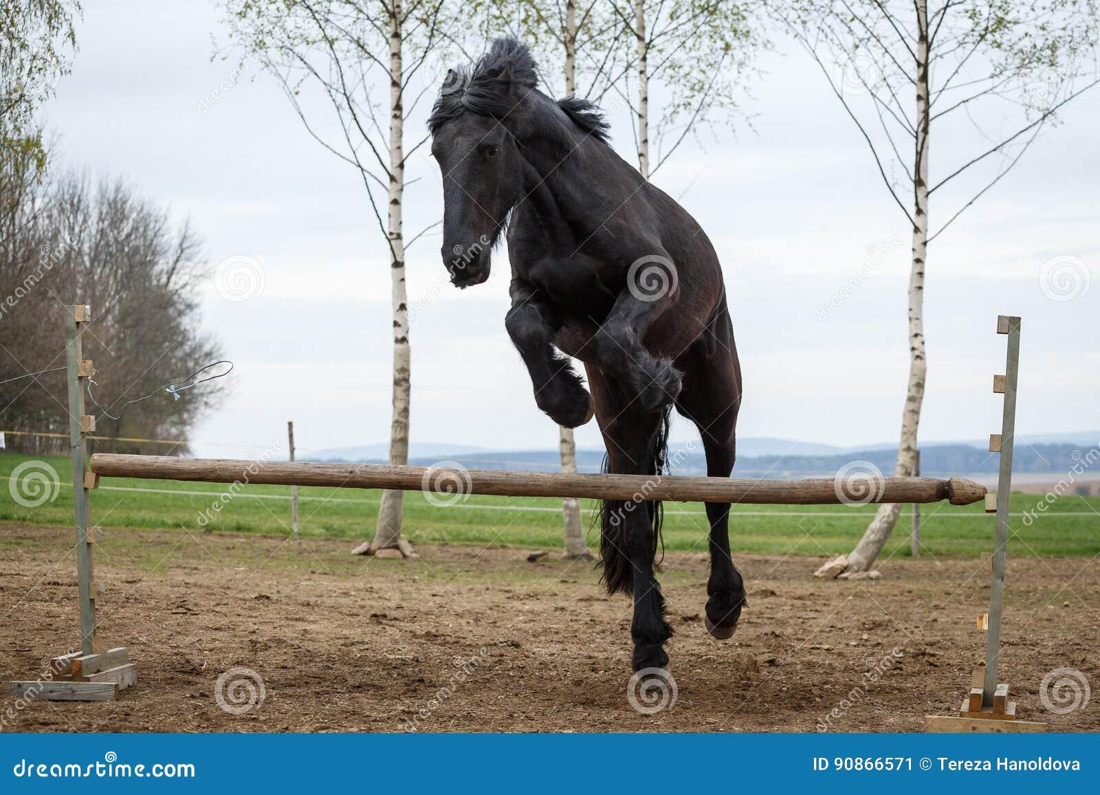 Jumping Friesian Horse Stock Image Image Of Back Hurdle 90866571