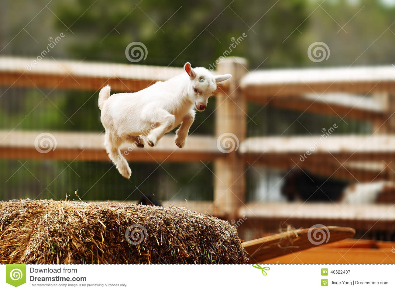 baby goat is jumping h...