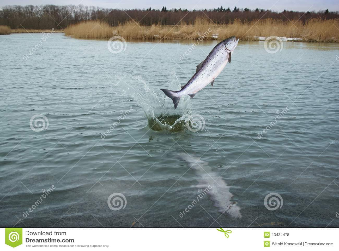 Jumping Out From Water Salmon Stock Photo - Image of luxury
