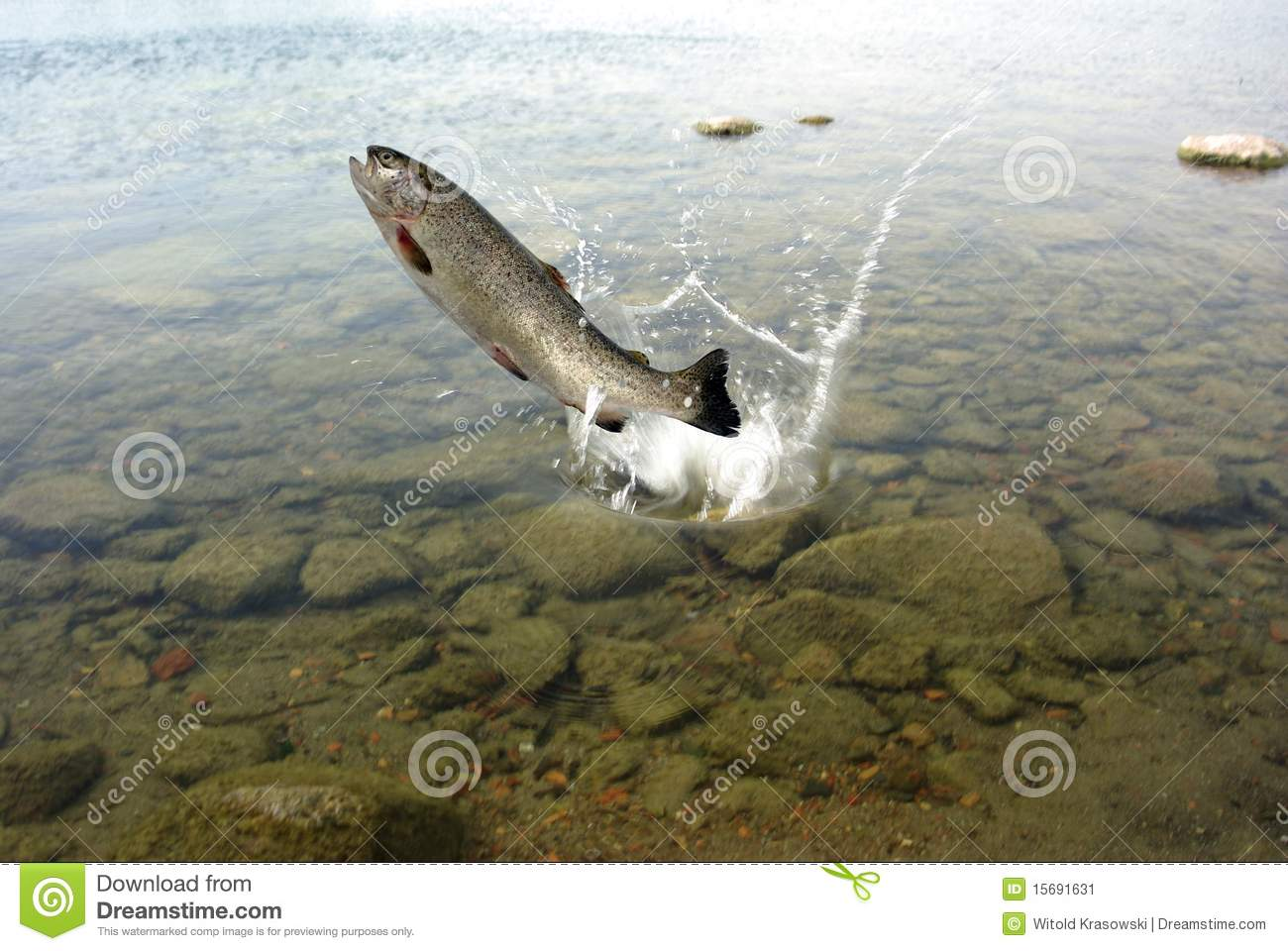 Trout Jumping Out Of Water