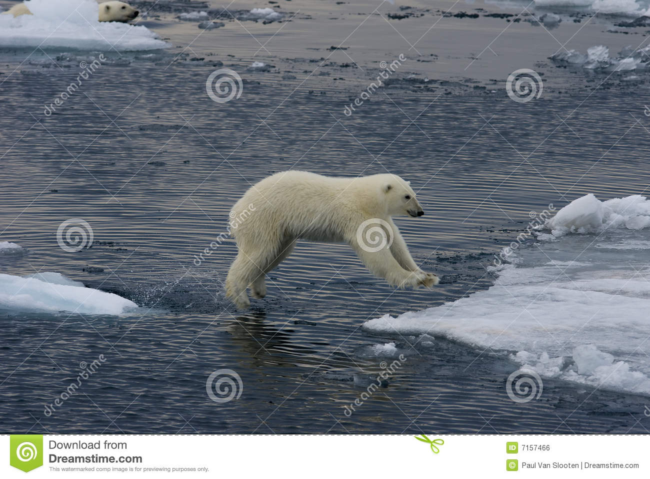 Download Jumping Polar bear cub 2 stock photo. Image of bear, pack - 7157466