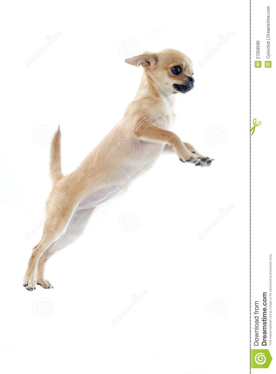 Jumping Puppy Chihuahua Stock Photo Image Of Chihuahua