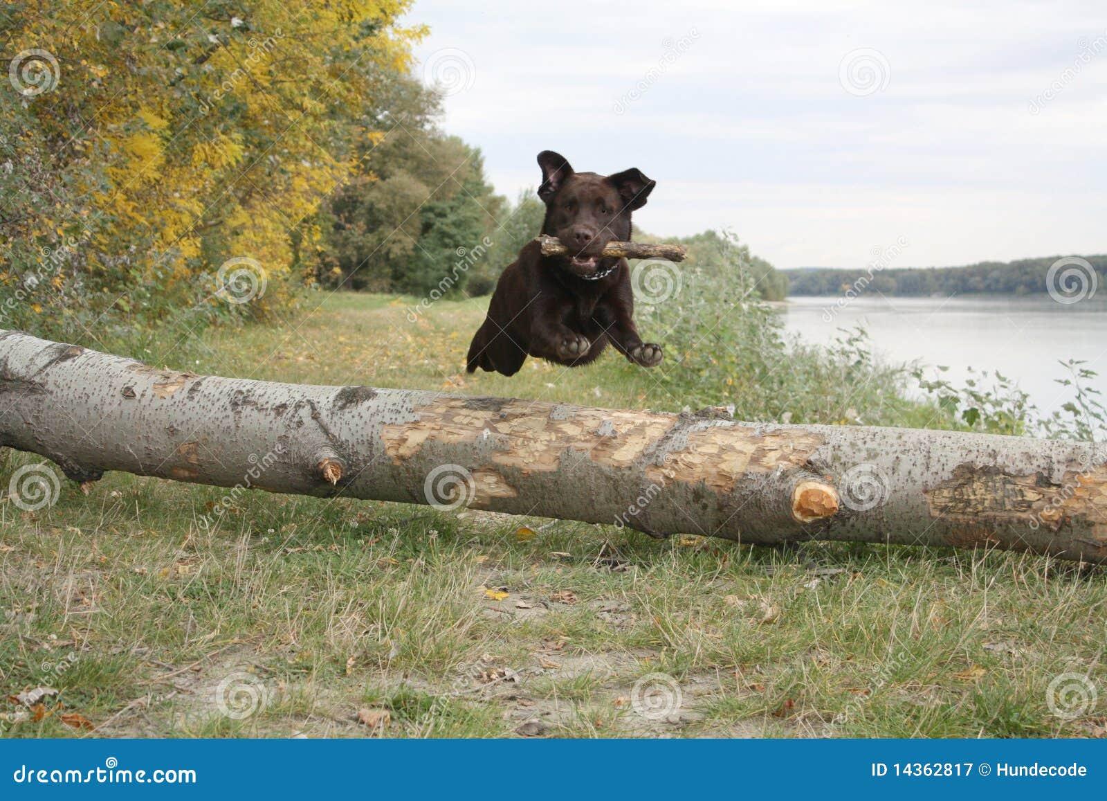 Jumping retriever