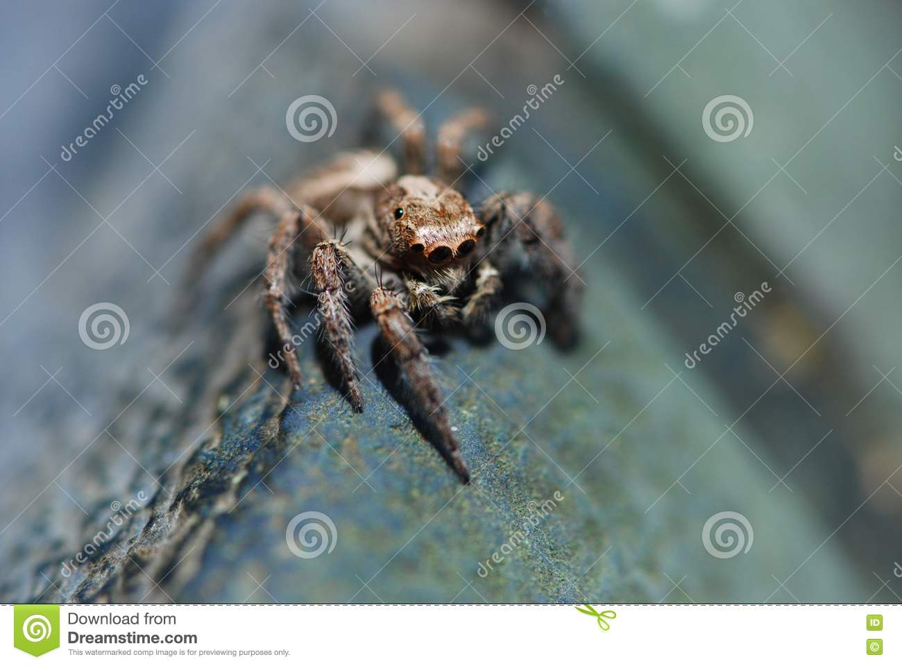 Jumping Spider Royalty Free Stock Photo - Image: 15823705 Jumping Spider Web