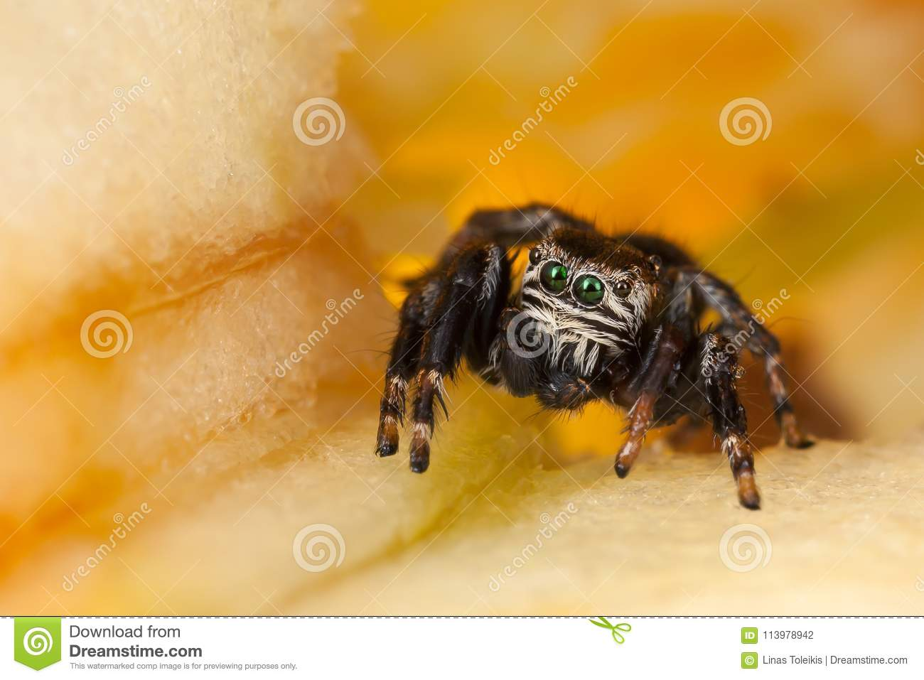 Jumping Spider On A Chopped Apple Stock Photo - Image of