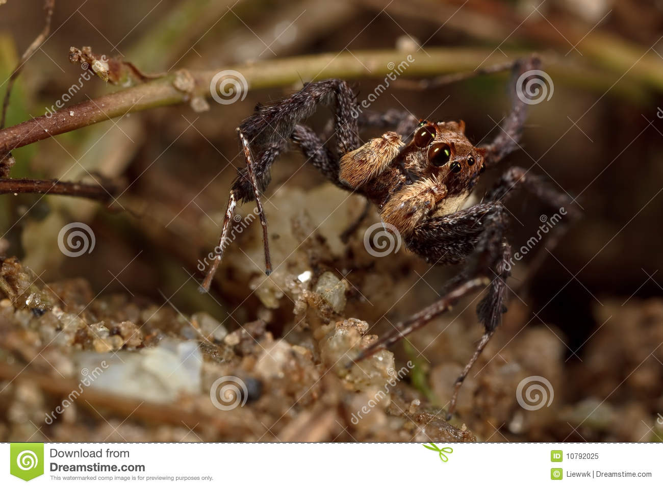 the portia spider a stealthy predator 5 the portia spider photo credit: imgur the portia spider, belonging to a group of sly and clever jumping spiders, is probably one of the most manipulative arachnids around.