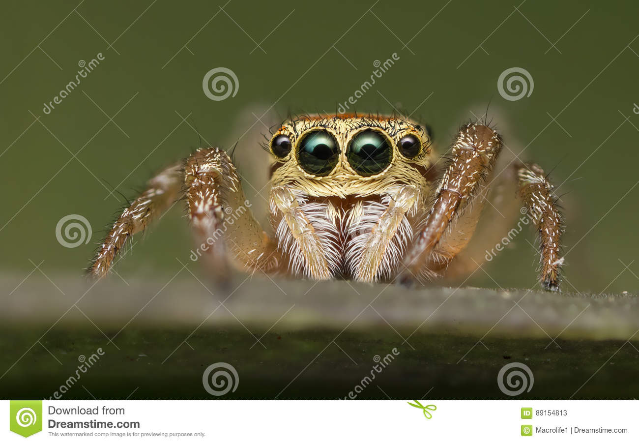 Download Jumping Spider - Salticidae Stock Image - Image of garden, green: 89154813