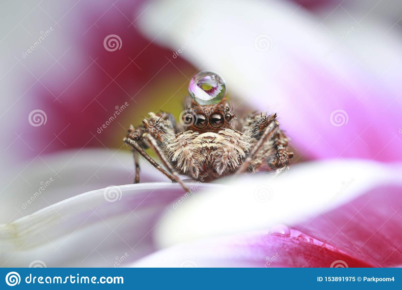 Jumping spider and water drop on pink flower in nature