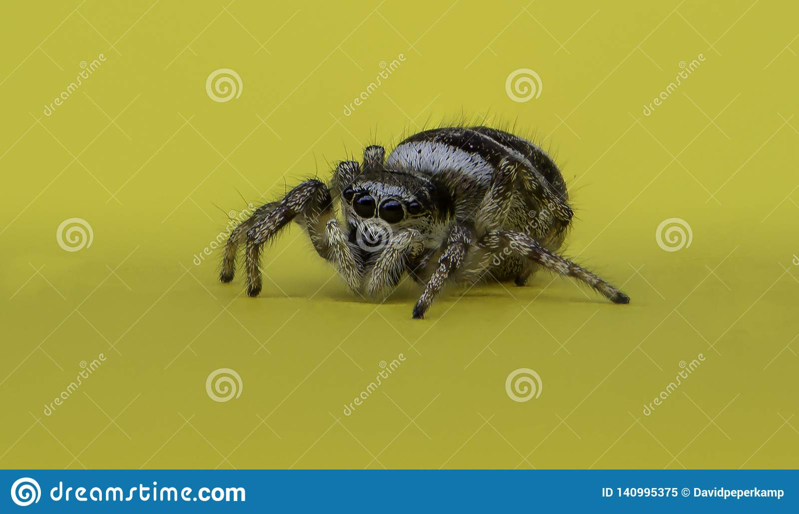 Jumping Spider ( Salticidae ) on a yellow memo note, Macro photo