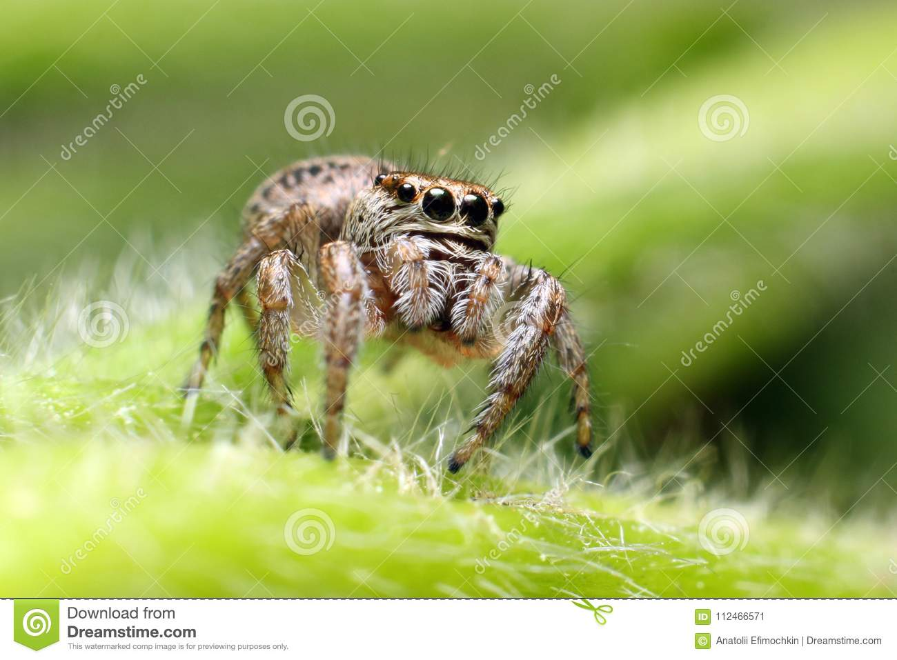 Jumping Spiders Live In A Variety Of Places Stock Image Image Of