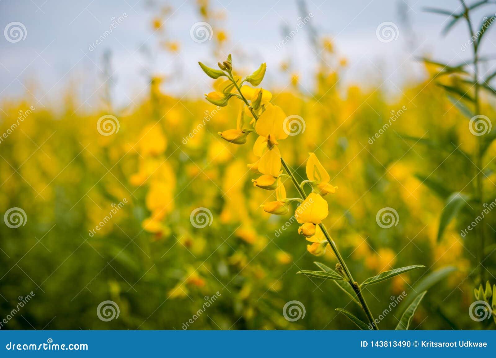 Juncea do Crotalaria ou de c?nhamo de Sunn campos de flores