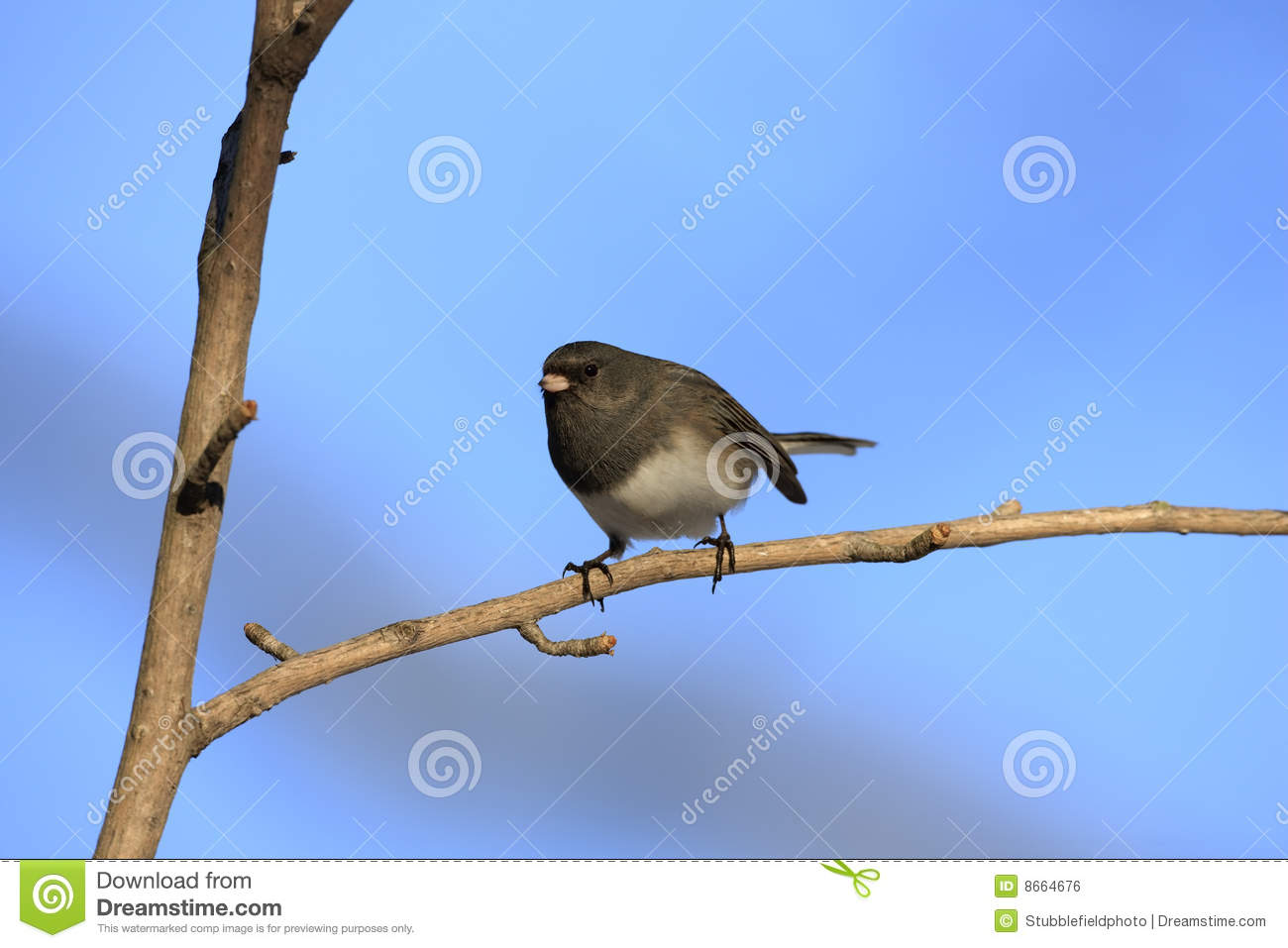 Junco Dark-eyed