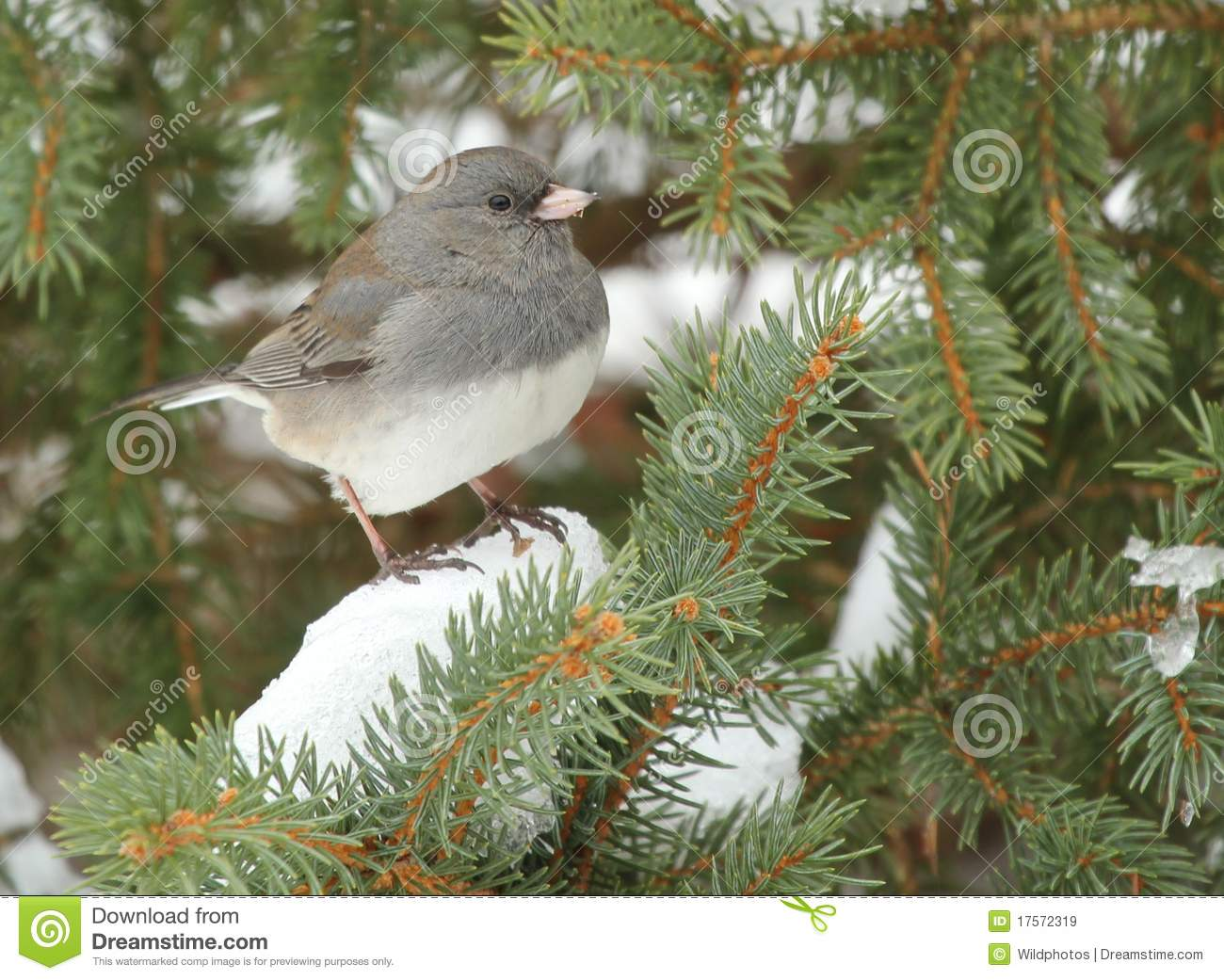 Junco Dark-eyed sul evergreen nevoso