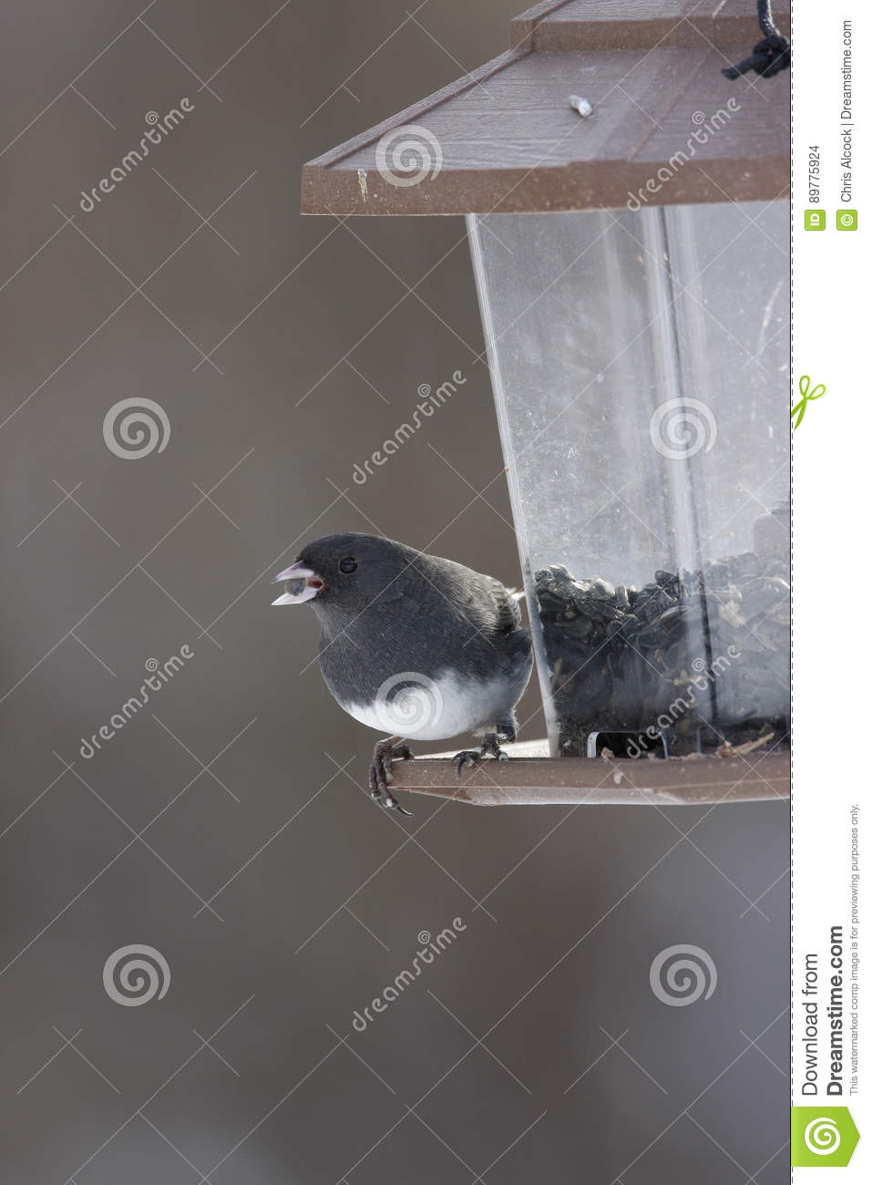 Junco eyed obscuridade