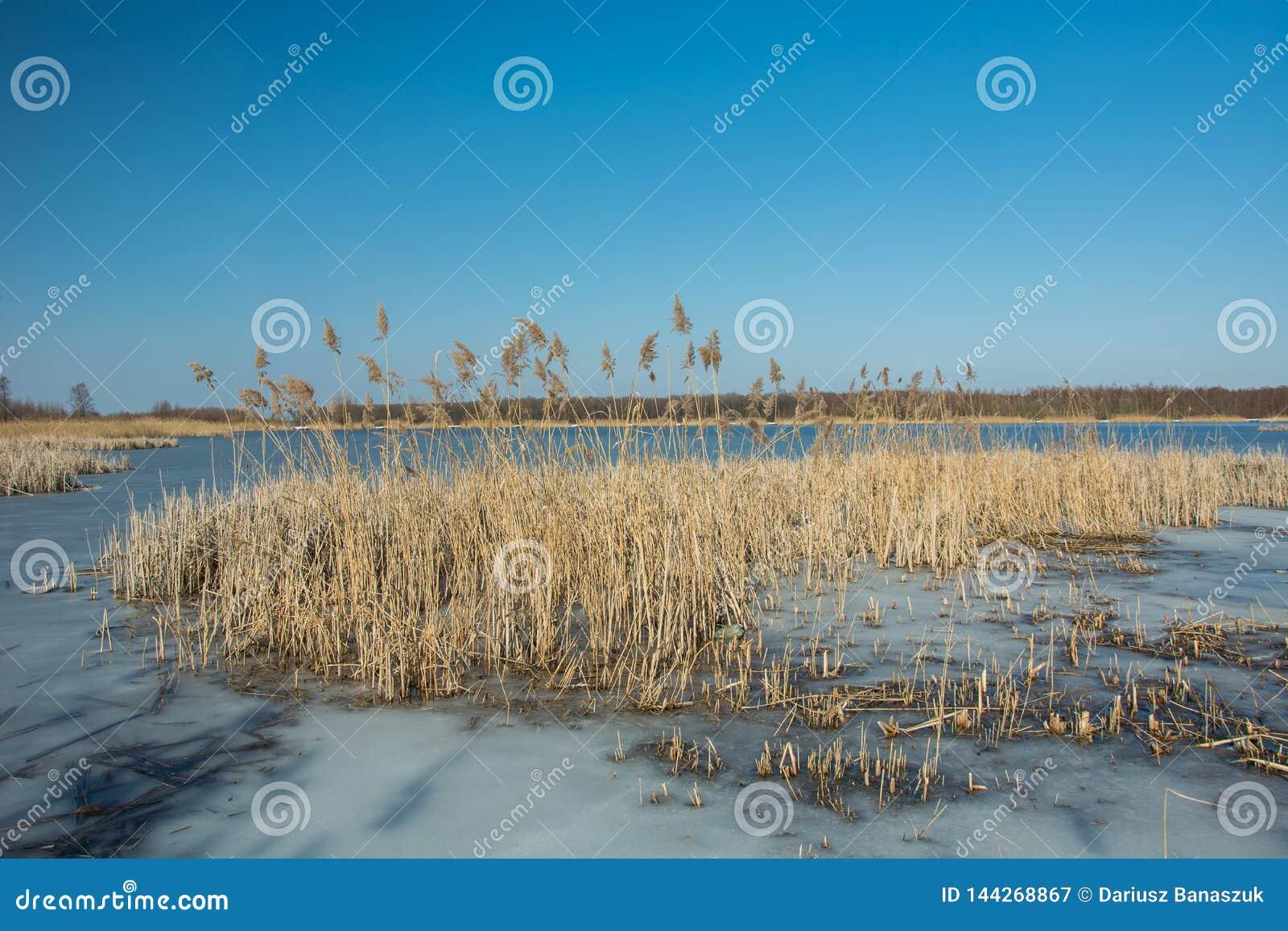 Juncos e lago congelado Floresta no horizonte e no c?u azul