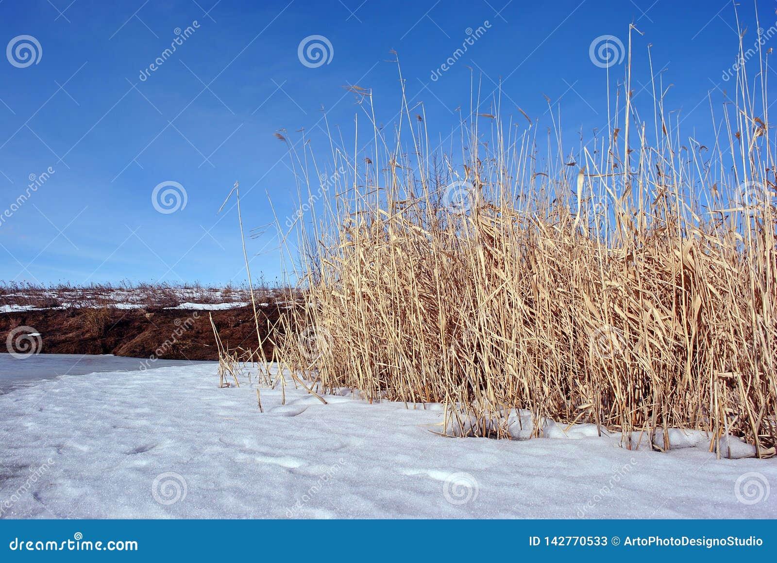 Juncos secos amarelos brilhantes no banco de rio coberto com a neve, céu azul