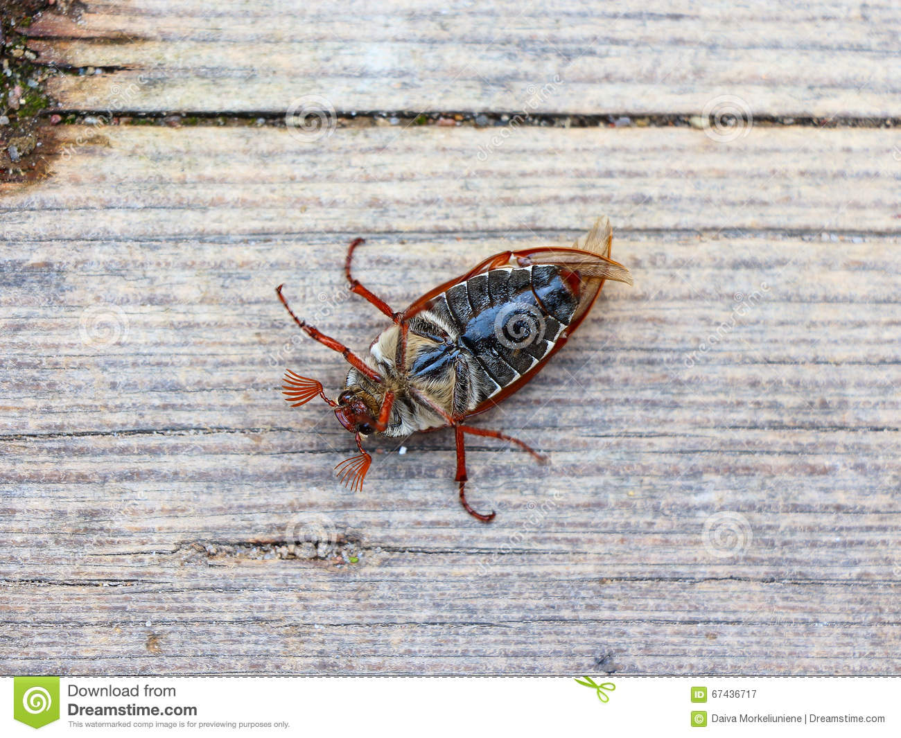 June bug stock image  Image of male, melolontha, june - 67436717