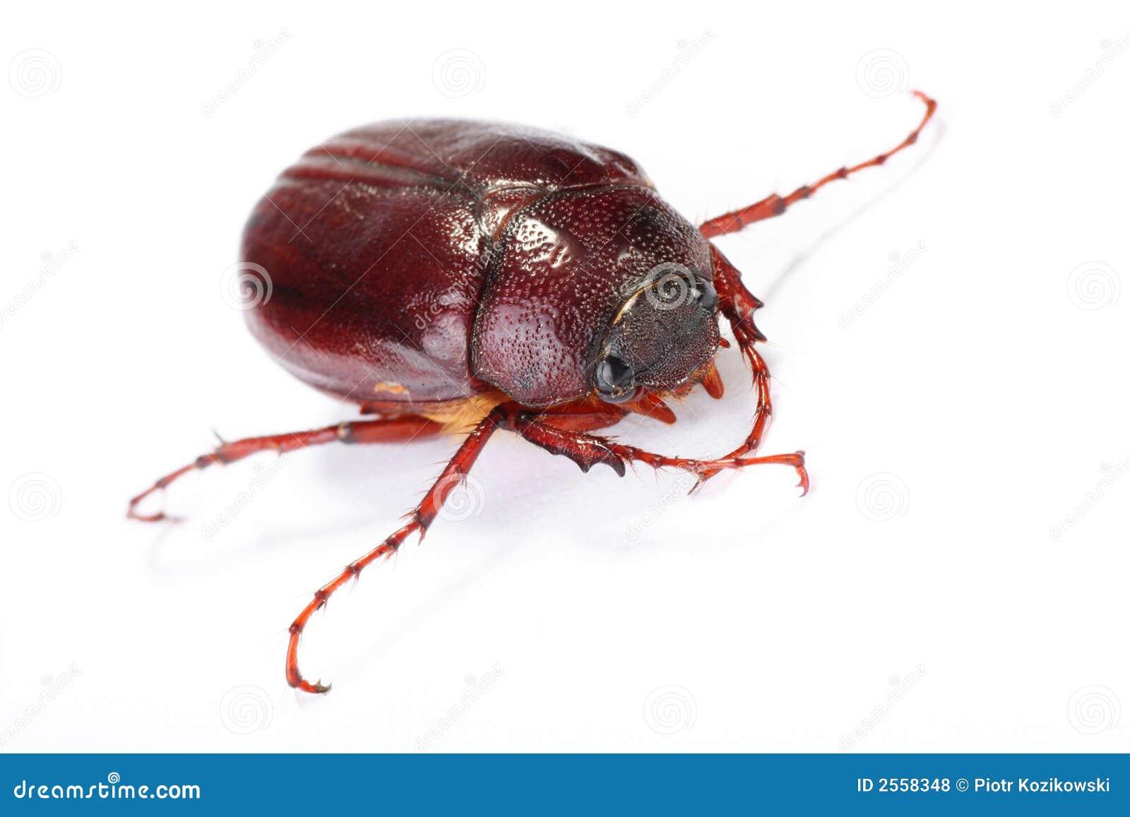 June bug on white stock photo  Image of shallow, junebeetle