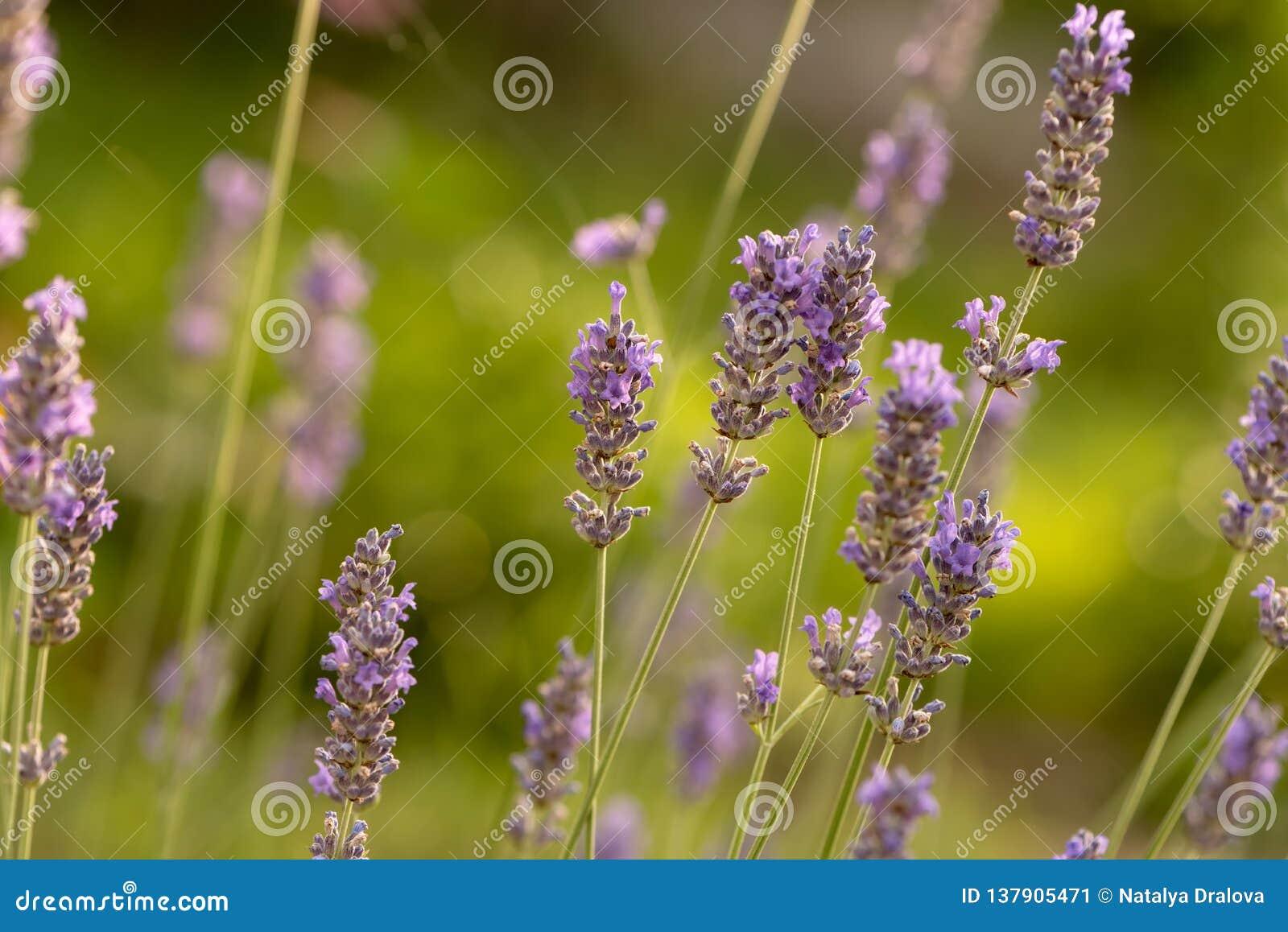 June is the season of lavender