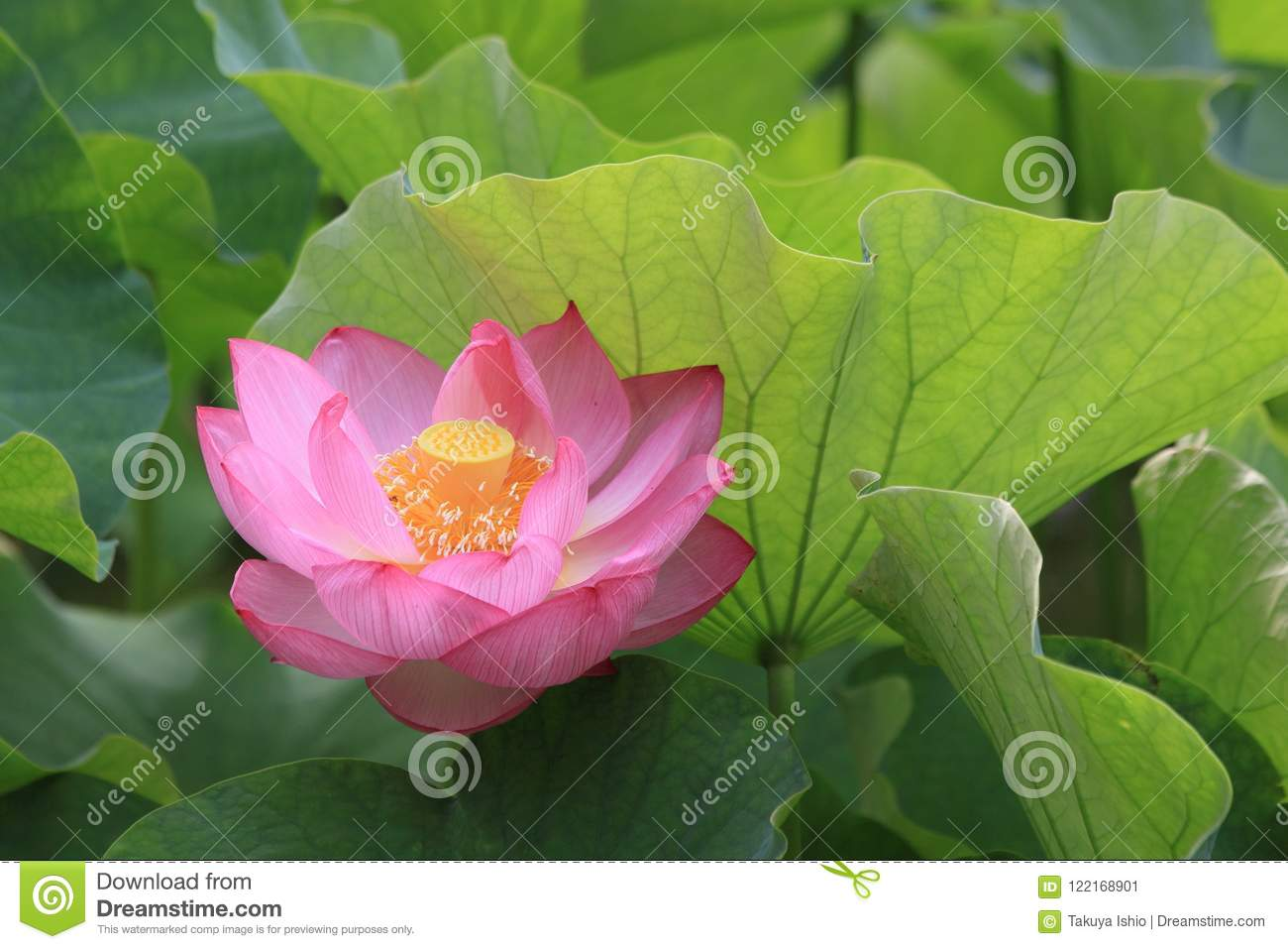 Lotus flower blossoms in a japanese garden stock image image of from june to july it is the best season to lotus flower blossoms in japan there are 1200 roots of 26 different types of flowering lotus in this garden mightylinksfo