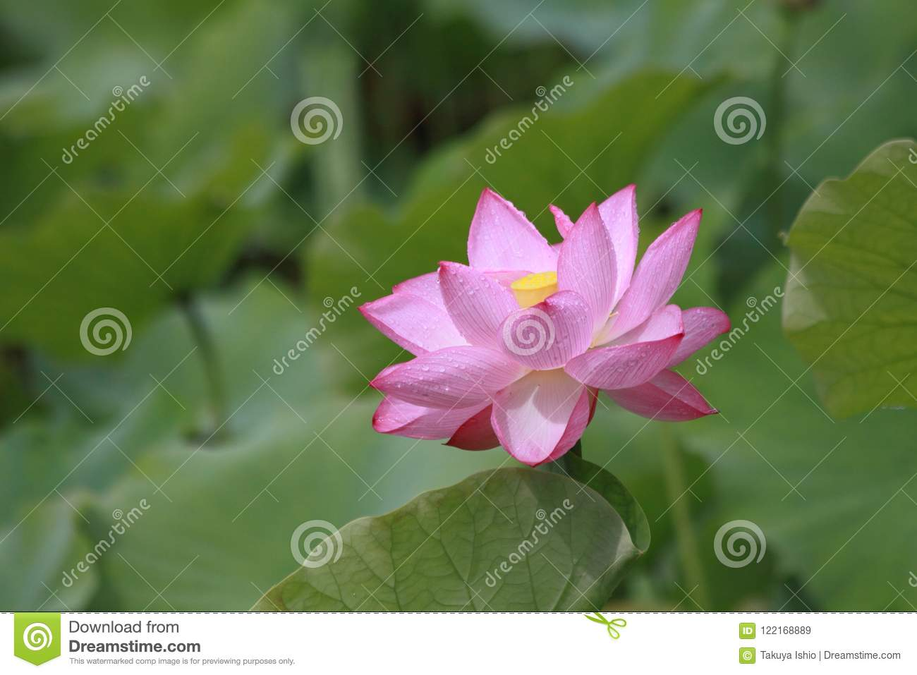 Lotus Flower Blossoms In A Japanese Garden Stock Image Image Of