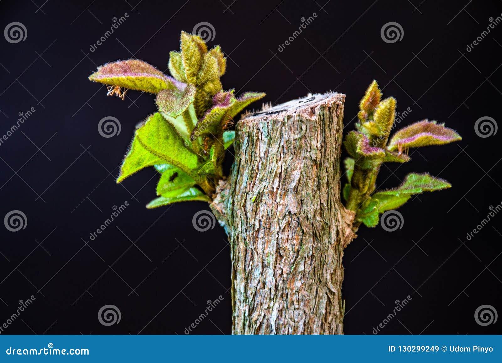 Junge Blätter des Schmetterlingsbusches