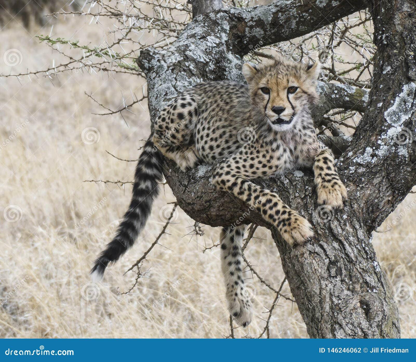 Junge Gepardjungsreste beim Lernen, Bäume zu klettern