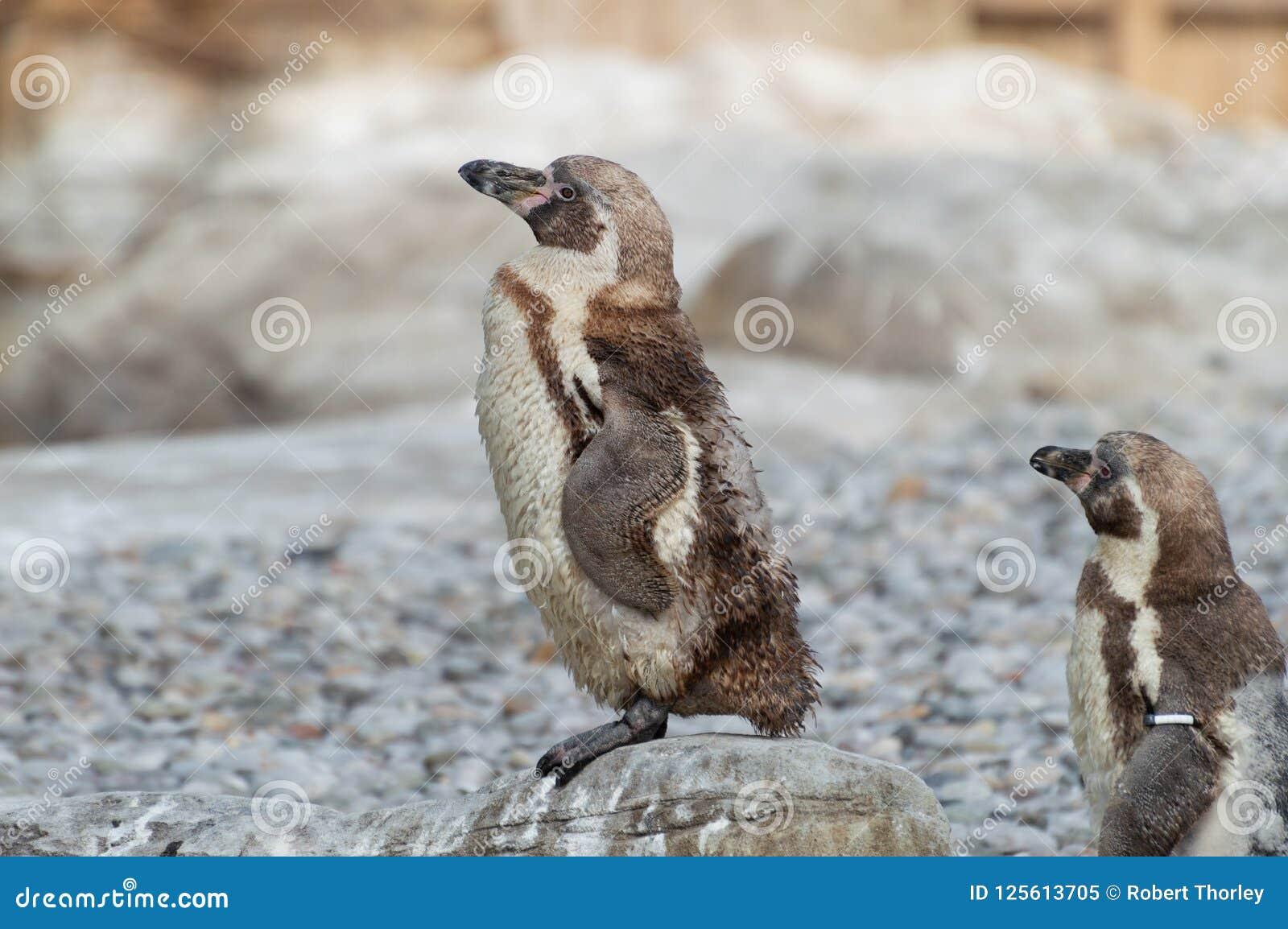 Junge Humboldt-Pinguine