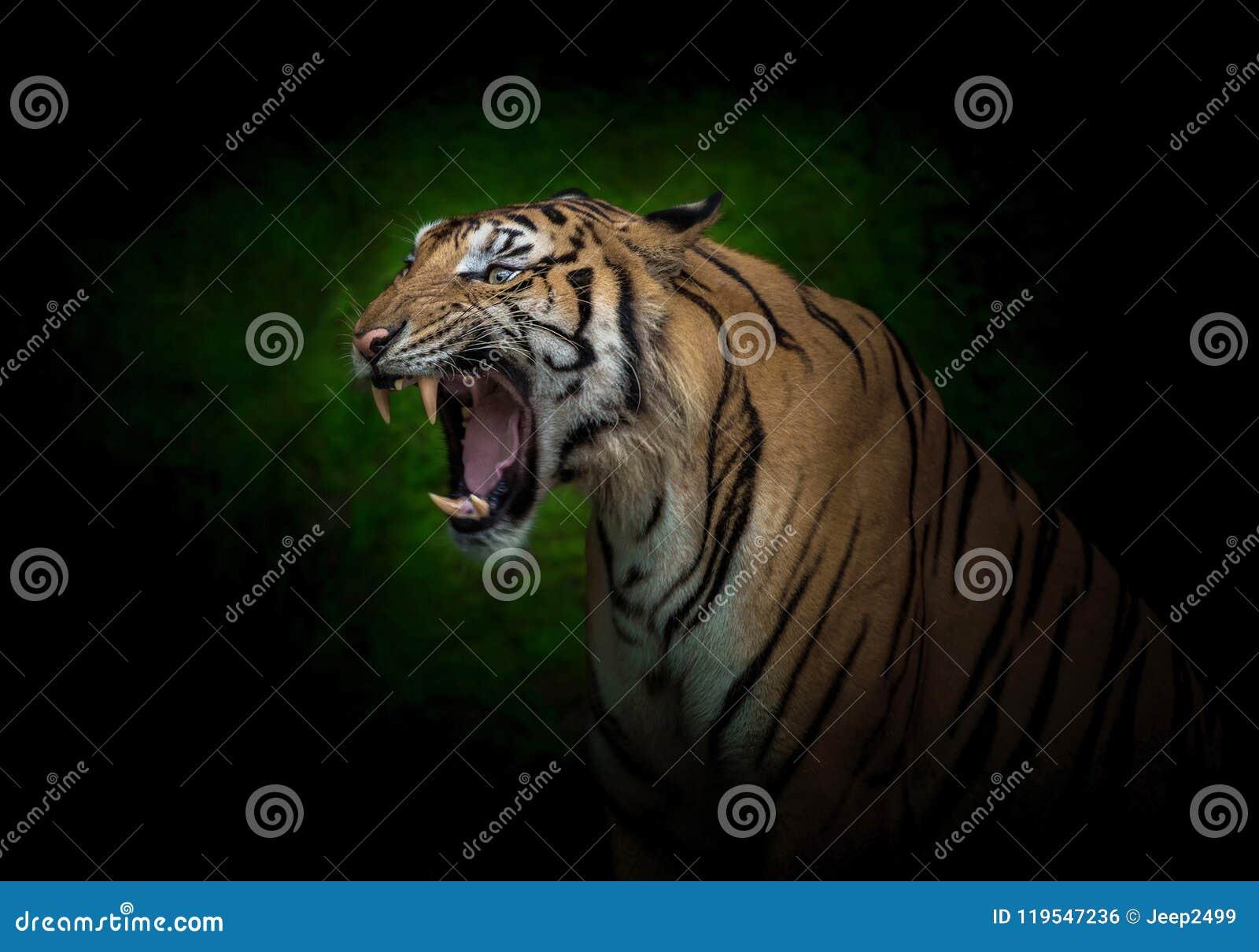 Junge indo-chinesische Tiger brüllen