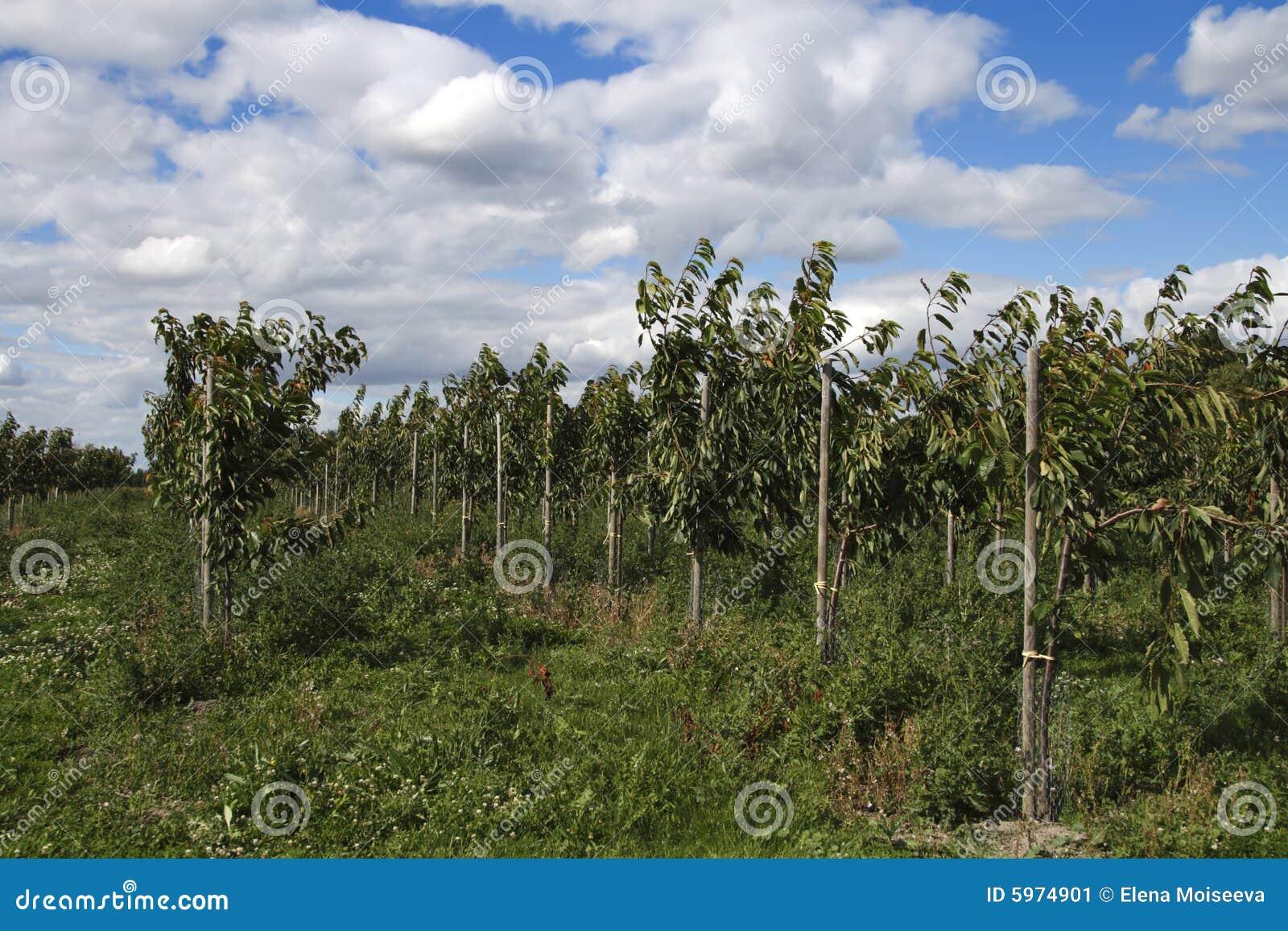 Junge Kirschbäume im Bauernhofobstgarten