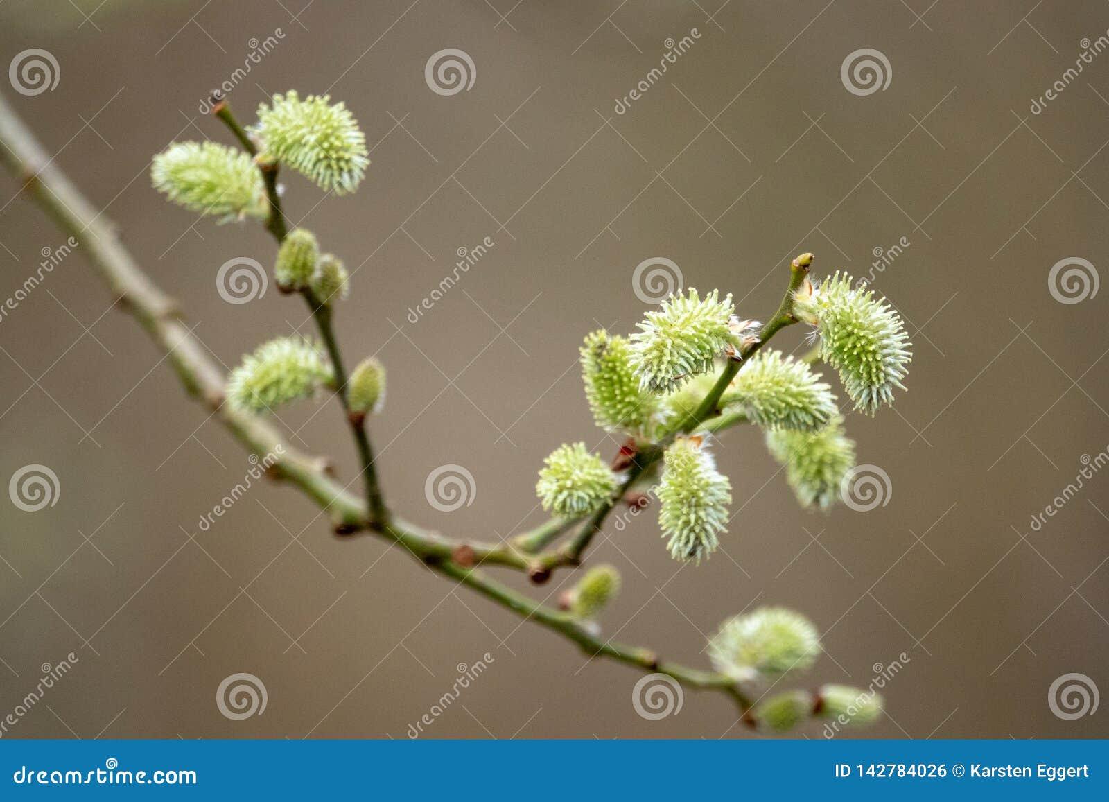 Junge Knospen im Frühjahr