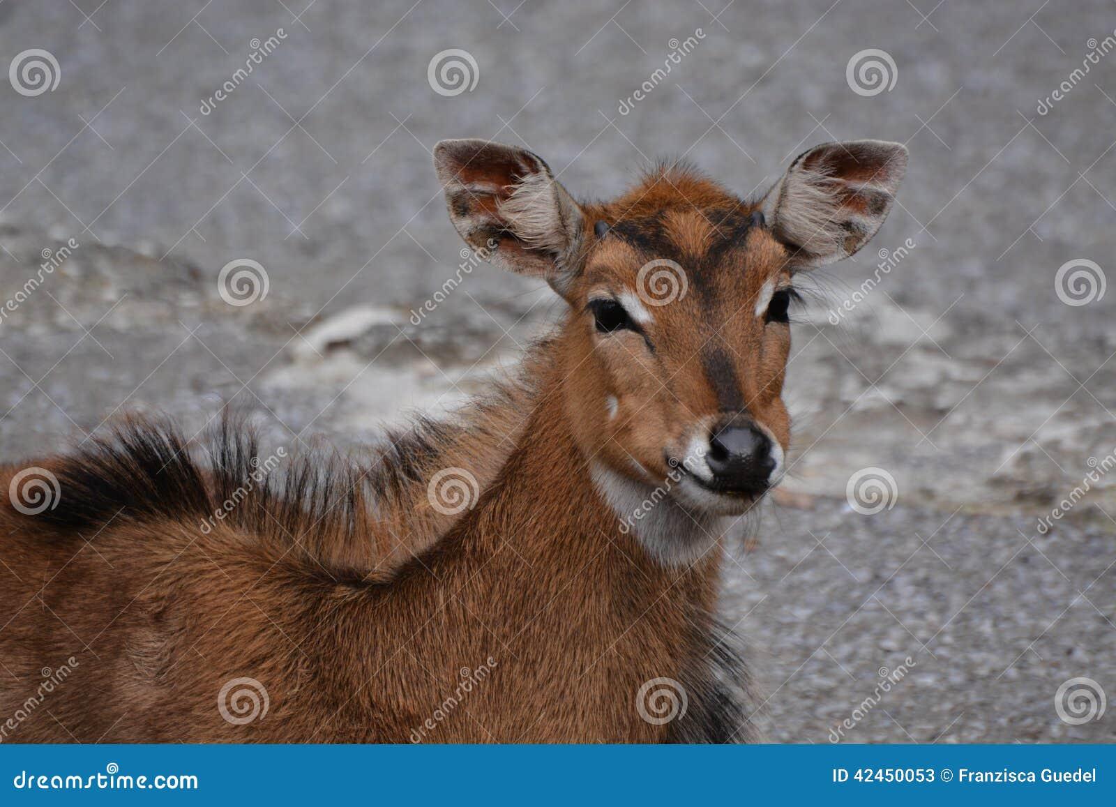 Junge Nilgai-Antilope