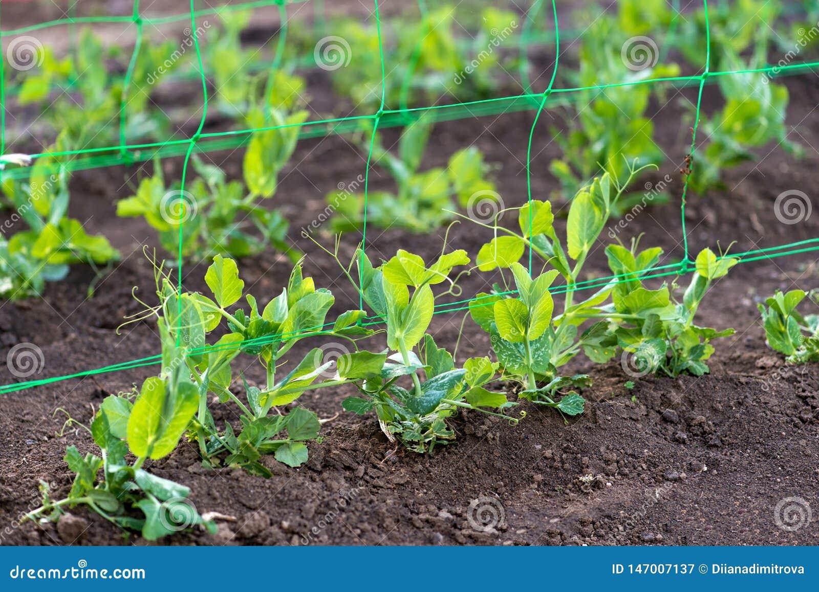 Junge organische Erbsenanlagen im Garten, der durch ein Gitter kriecht