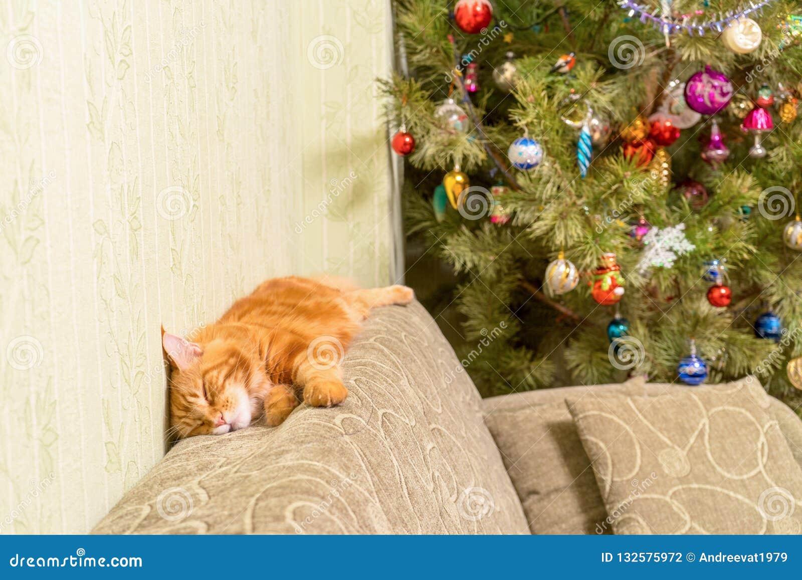 Junge rote Katze von Maine Coon-Zucht schlafend auf Sofa nahe d