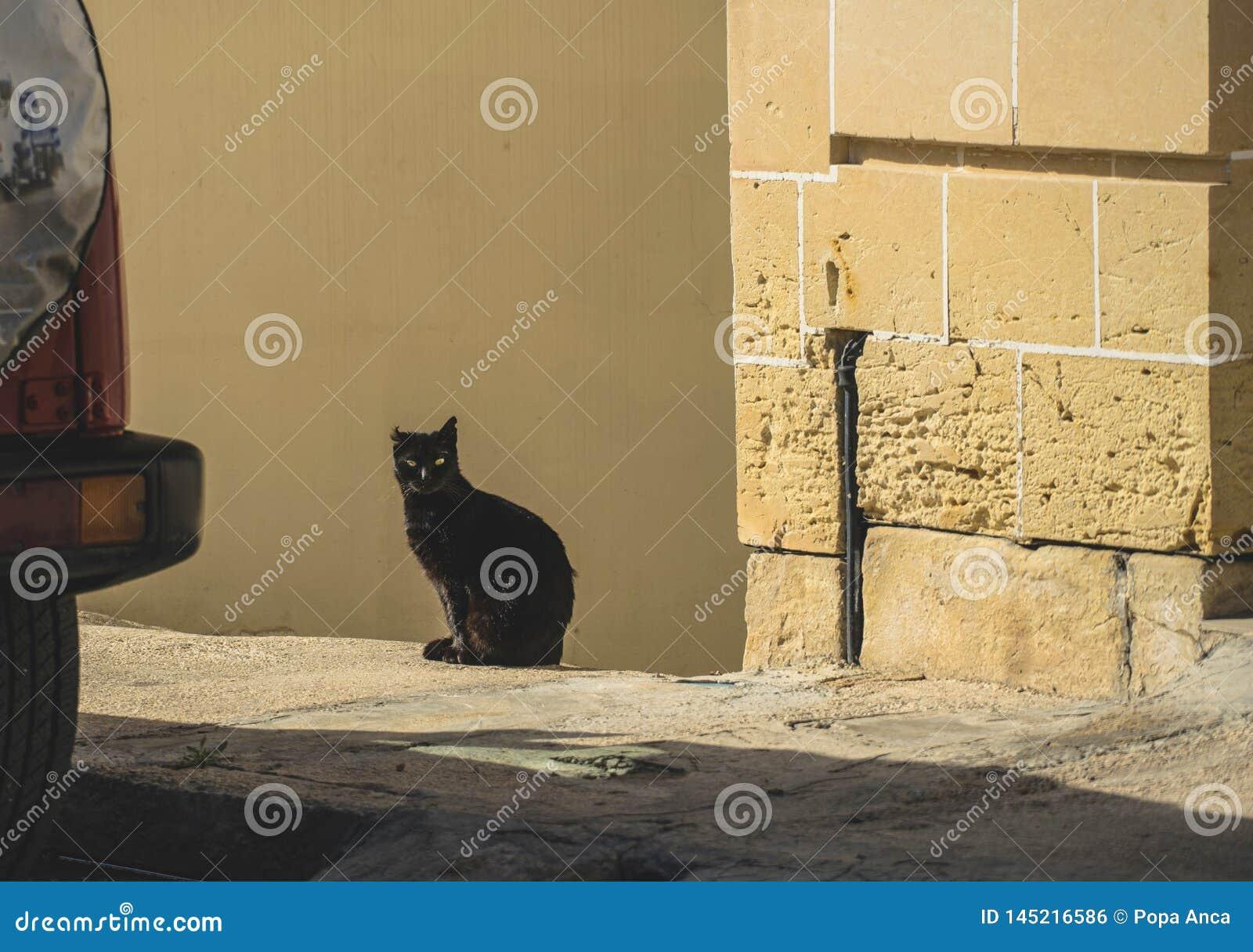 Junge schwarze Katze, die in der Sonne, die Kamera betrachtend sitzt, wenn ein Jahr abgeschnitten ist
