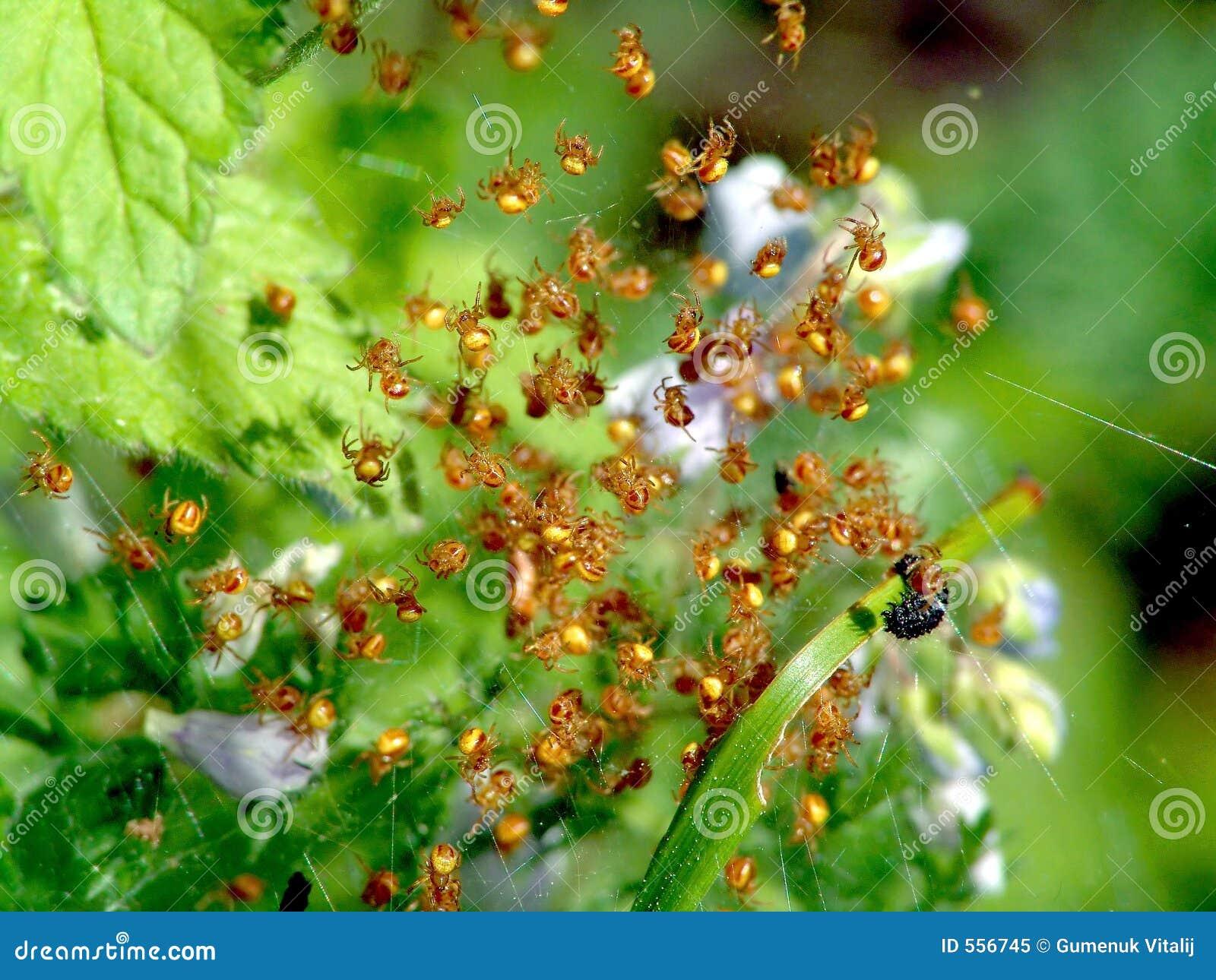 Junge Spinnen.