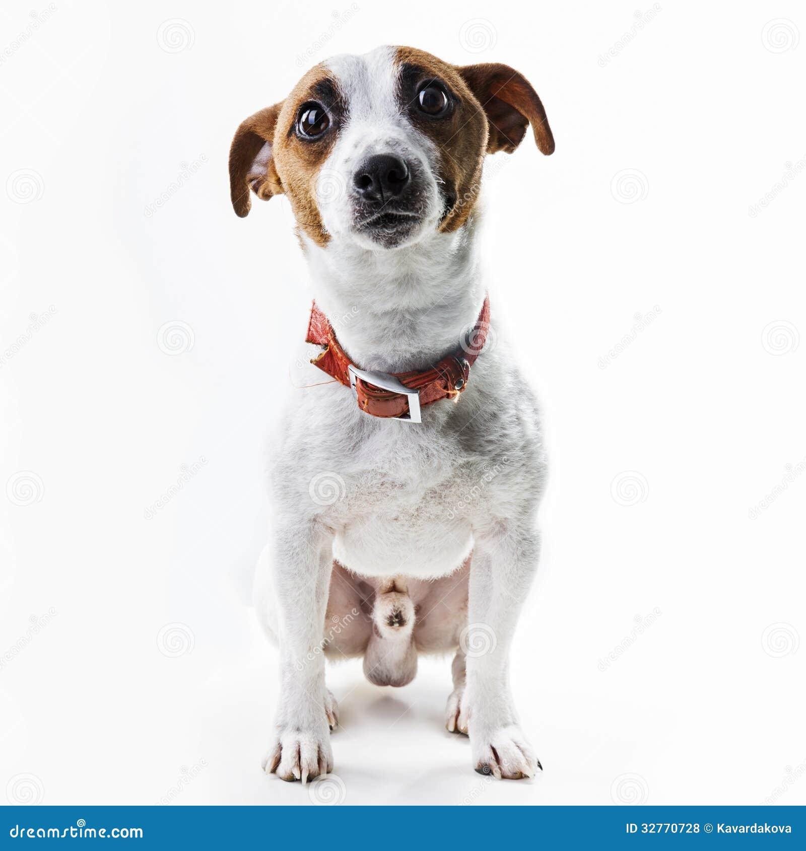 Jungenhunderasse Jack Russell Terrier