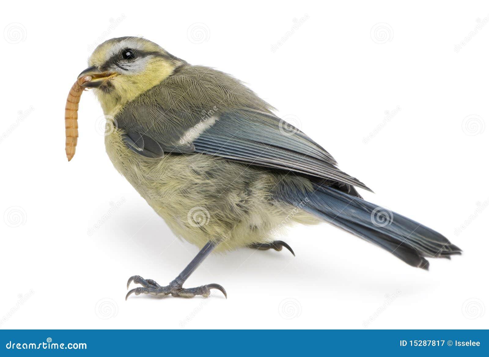 Junger blauer Tit, Cyanistes caeruleus, Endlosschraube essend