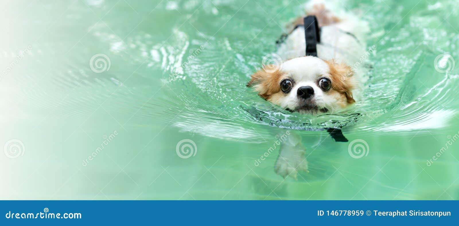 Junger Chihuahuahundetragendes Schwimmweste-Jackenschwimmen im Swimmingpool, der Kamera mit betrachtet, Freizeit am Feiertag sich