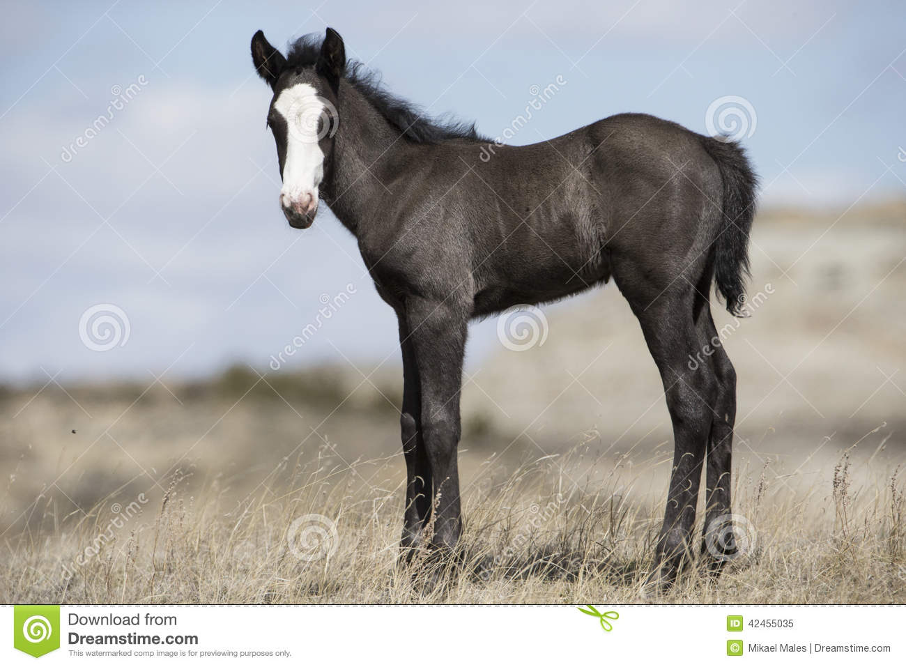 Junger Colt in Roosevelt National Park