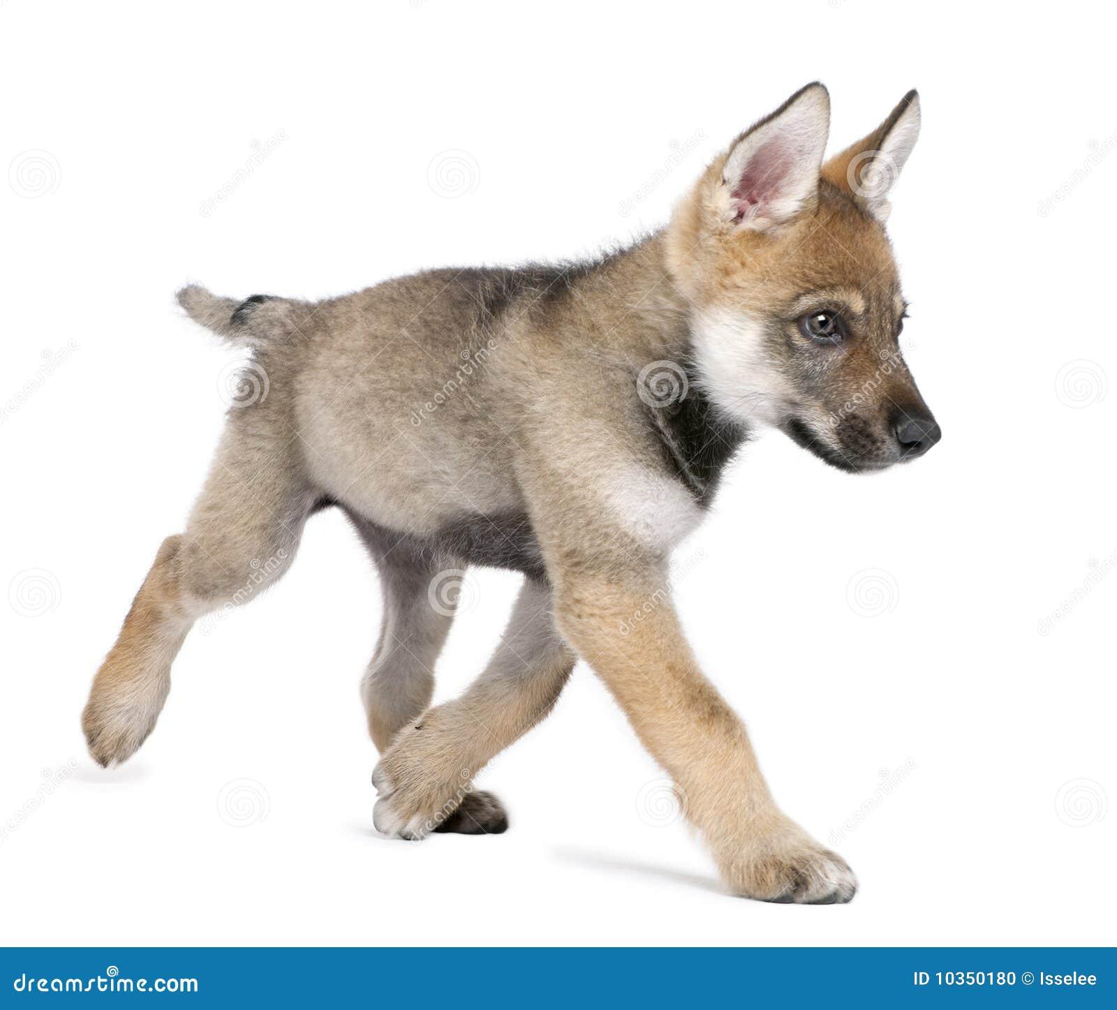Junger Europäischer Wolfbetrieb - Canis Lupus Lupus Stockfoto - Bild ...