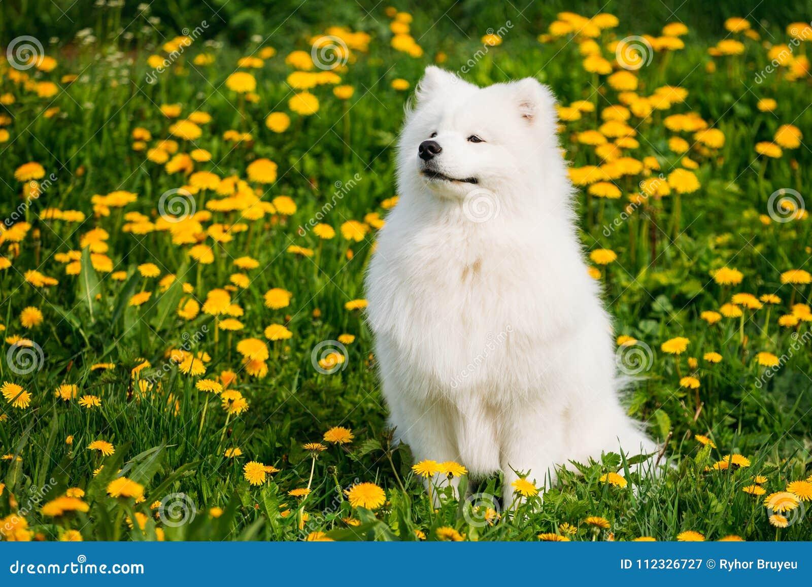 Junger glücklicher lächelnder weißer Samoyed-Hund oder Bjelkier, Sammy Sit Outdoor